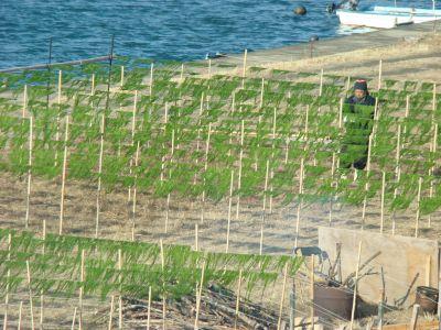 20110216四万十川の青のりの採取