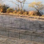 四万十川の青のり原藻、採取の準備が始まってます