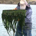 四万十川のアオノリ/スジアオノリの収穫が最盛期